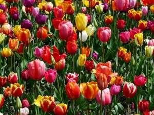tulips-47399_640